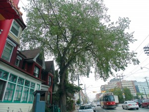 This elm, located on Bathurst Street just south of Dundas Street, thrives in the urban landscape against all odds and despite the continued presence of Dutch elm disease. Brian Burchell, Gleaner News