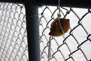 PHOTO BY GEREMY BORDONARO: A rotting tangerine tied to a fence post is the most depressing aspect of Aura Lee/Robert Street Park. This odd feature reflects how deep the park has fallen into disrepair in recent years.