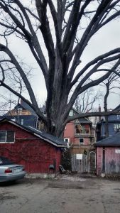 PHOTO COURTESY?MICHAEL?LOW: This old burr oak tree on Spadina Road reflects Toronto's aging tree canopy. The Toronto Park and Trees Foundation is working to distribute trees throughout the city so that the urban forest will continue to thrive well into the future.